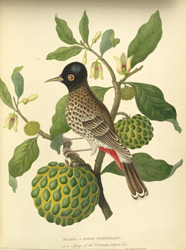 Bulbul or Indian Nightingale, on a Sprig of the Custard Apple Tree